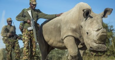 LLAIKIPIA COUNTY, KENYA, JUNE 25: FILE PHOTO Sudan, a Northern White Rhinoceros is protected by armed guards John Mugo and Daniel Maina at Ol Pejeta Conservancy on June 25, 2015 at Laikipia County, Kenya.  THIS could be the last time we see a male northern white rhino. Sudan is the last of his kind, and at the age of 42 he doesnt have much time left. After 35-years in captivity Sudan is living out his final years at Ol Pejeta conservancy in central Kenya's Laikipia, surrounded by a team of armed guards. With his back legs weakening and his sperm count lowering the chances of Sudan being able to mount a female and sire more offspring diminishes daily.  PHOTOGRAPH BY Georgina Goodwin/Barcroft Media (Photo credit should read Georgina Goodwin/Barcroft Media via Getty Images)
